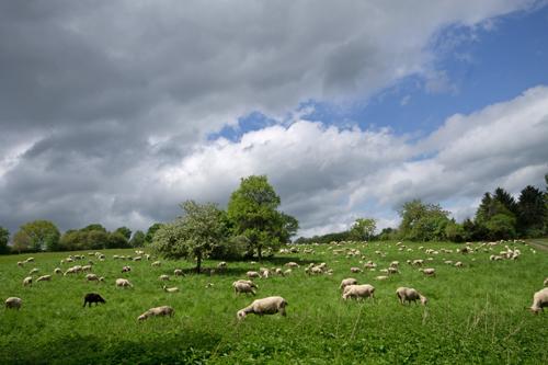 Schafsweide bei Schloßborn im Hochtaunus.