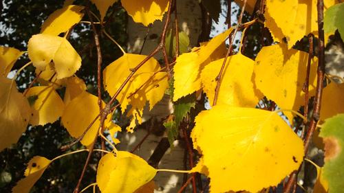Birkenblätter im Oktober