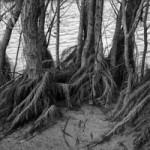 """""""Mangroven"""" am Rhein."""
