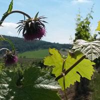 Weinblatt mit violetter Blüte