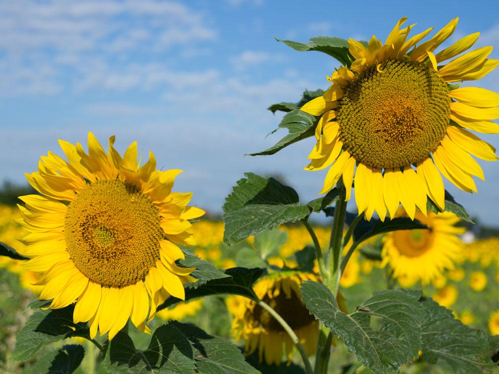 Selbstbestimmt handeln: Sonnenblumen machen es uns vor.