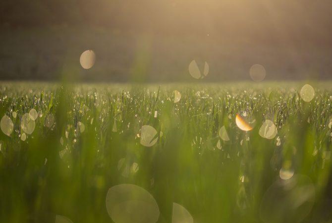 Tautropfen im Gras.