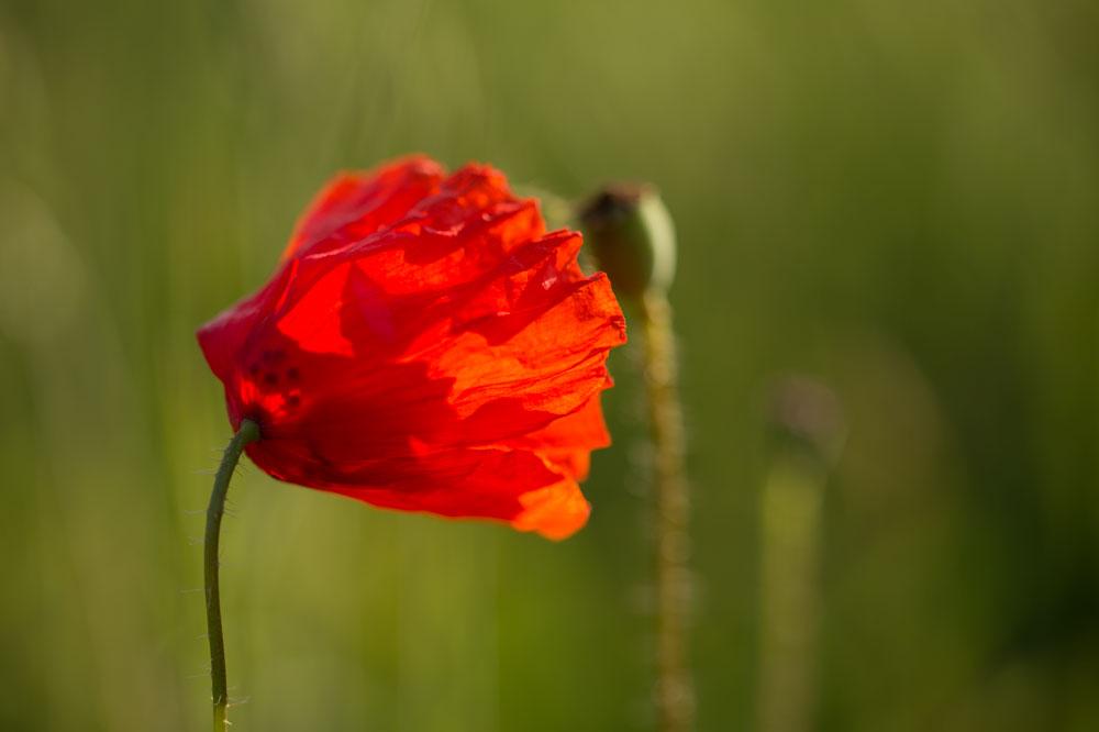 Die Blütenblätter des Mohns erinnern mich an Plisee.