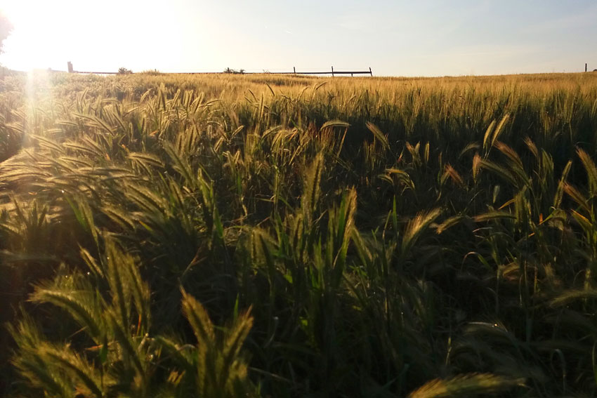 Das Getreide wird schon gelb.